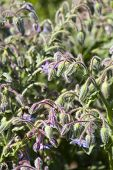 image of borage  - Close up view of an Borage Plant  - JPG