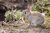 foto of rabbit hole  - Wild baby European rabbit Oryctolagus cuniculus outside a burrow of a rabbit warren - JPG