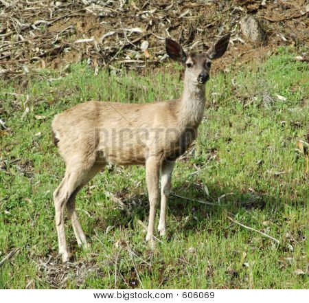 Mule Deer In Spring
