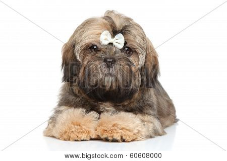 Shihtzu Puppy Portrait On A White Background