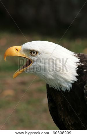 Bald Eagle Chirping