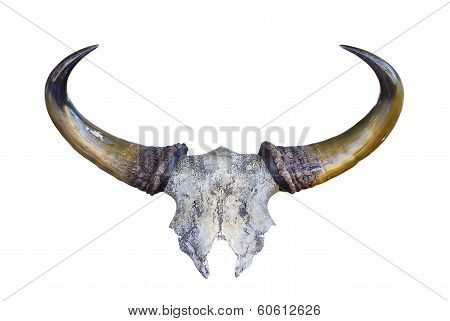 Skeleton Banteng Head