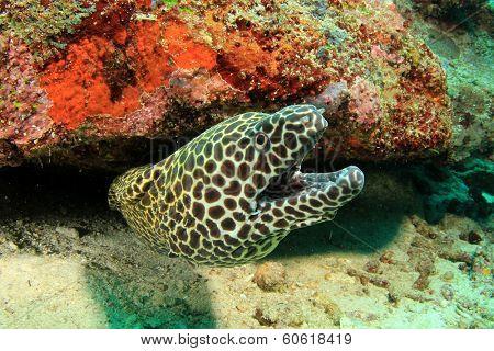 Honeycomb Moray Eel