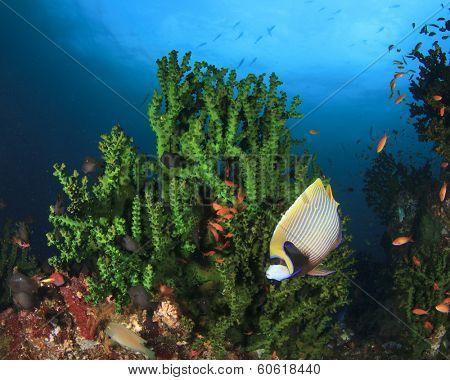 Emperor Angelfish on coral reef in ocean