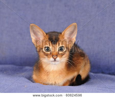 Abyssinian Kitten Portrait Looking At Camera