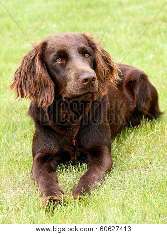 Portrait Of German Spaniel Dog