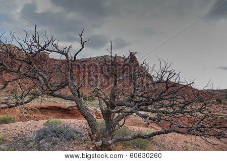 The Dead Pinion Tree