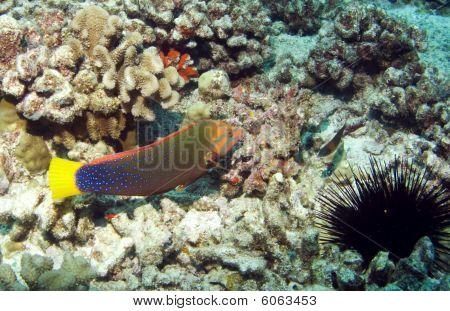 Yellowtail Coris