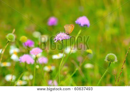 Skipper Butterfly On Flowers