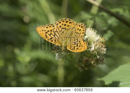 Silver-washed fritillary butterfly, Argynnis paphia