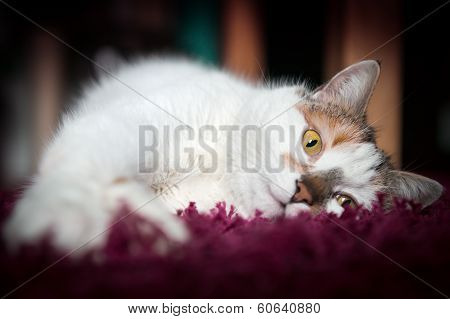cozy cat lies on red carpet with feet toward camera