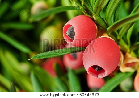 Yew twig with red fruits in the garden