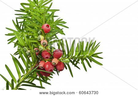 Yew twig with red berries