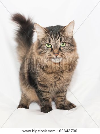 Striped Green-eyed Siberian Cat On Gray  Background
