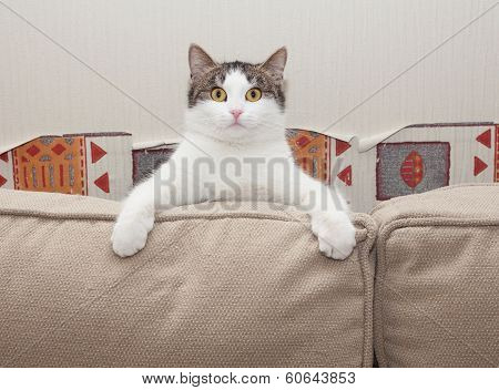 White Cat With Gray Spots Sits In Amazement Looking For Cushions