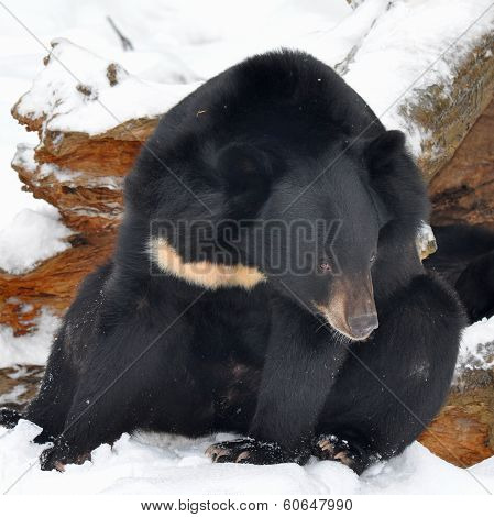 asiatic bear