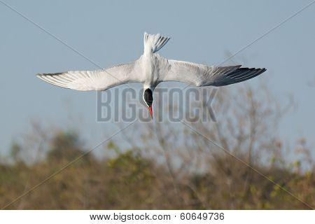 Caspian Tern In A Dive