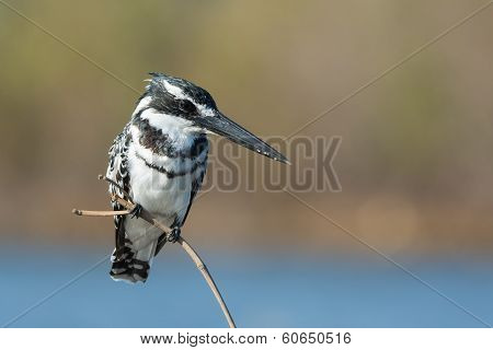 Pied Kingfisher (ceryle Rudis) Intent On Finding Fish