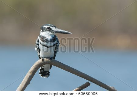 Pied Kingfisher (ceryle Rudis) Perched On A Branch