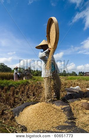 Rice Winnowing In Bali, Indonesia