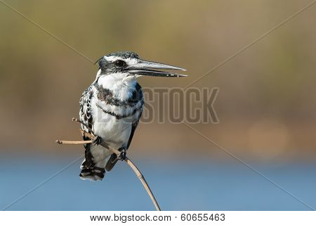 Pied Kingfisher With His Mouth Open