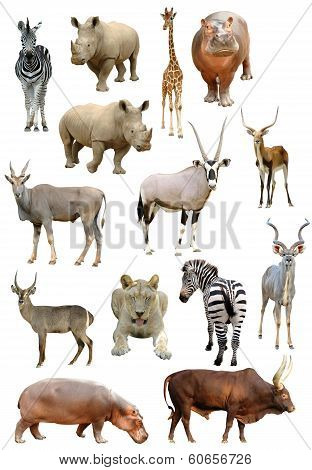 African Animals Collection Isolated On White Background