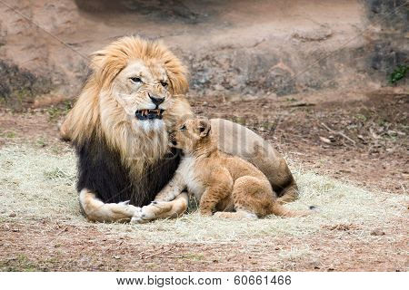 Male African lion growling at his cub