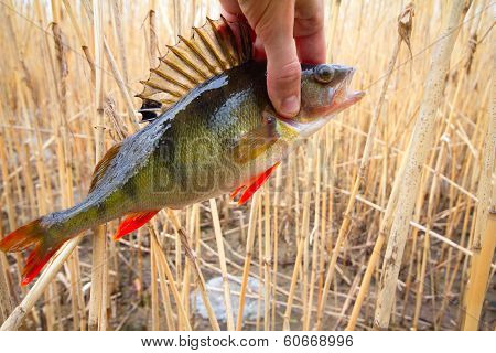 Perch From A Cane  Thickets