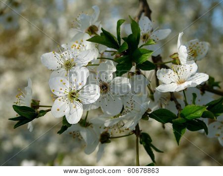 beautiful blooming cherry-plum tree branch