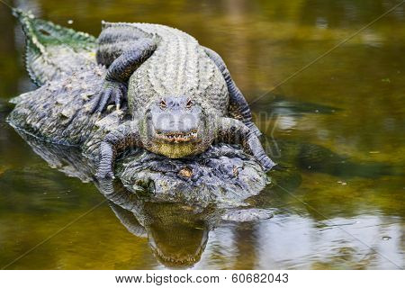 Young alligator and mother