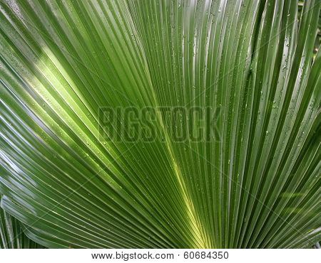 single green palm leaf (Livistona Rotundifolia palm tree) close up surface background