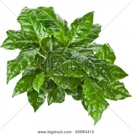 Green Leaves Coffee Arabica Plant Top View isolated on white background