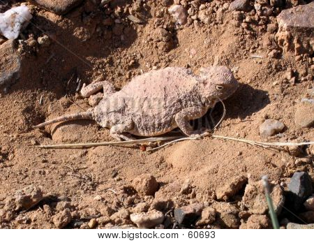 Horny Toad 2
