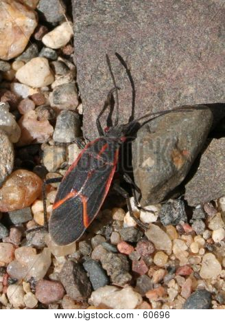 Boxelder Bug On Gravel2