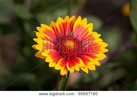 Yellow-red Flower Echinacea