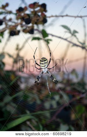 Big yellow argiope spider ahead sunset