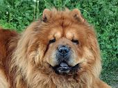 stock photo of chow-chow  - Brown friendly chow - JPG