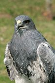 image of buzzard  - A Black Chested Buzzard Eagle at an outdoor bird sanctuary near Otavalo - JPG