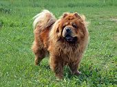 stock photo of chow  - Brown friendly chow - JPG
