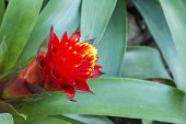 stock photo of bromeliad  - Red and yellow blooming bromeliad plants with nature background - JPG