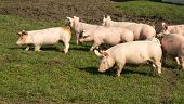 stock photo of pig-breeding  - Small cute pigs walking on grass and muddy field - JPG