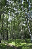 stock photo of birchwood  - birchwood forest - JPG