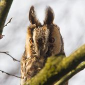 Long Eared Owl (asio Otus)