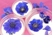 stock photo of windflowers  - Three bowls with yogurt decorated with blue windflowers on a pink background - JPG