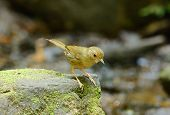 stock photo of babbler  - beautiful buff - JPG