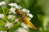 picture of broad-bodied  - a mature female broad bodied chaser on an umbelaform - JPG