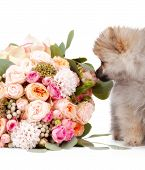stock photo of pomeranian  - Pomeranian puppy with bouqet of flowers isolated on white background - JPG