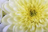 Постер, плакат: White Chrysanthemum