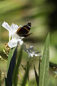 Red Admiral Butterfly on White Flower
