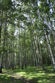picture of birchwood  - birchwood forest - JPG
